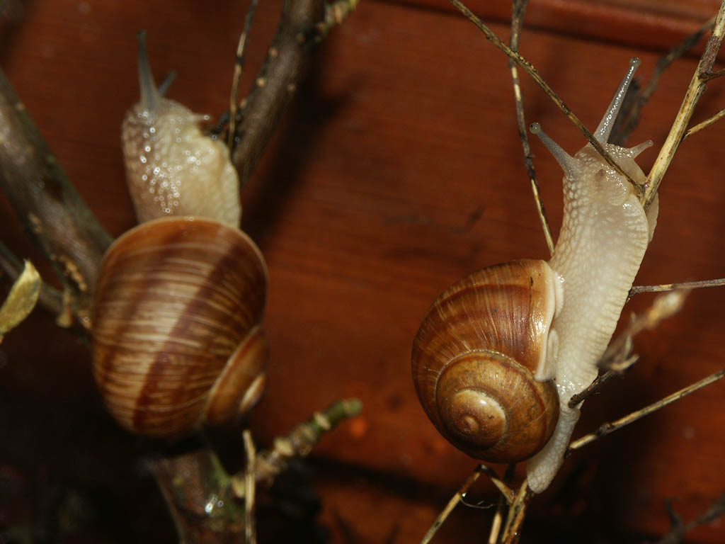 Snails climbing on some rotted plants